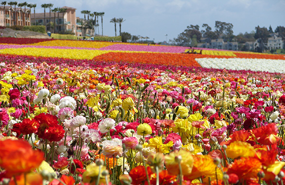 Previous Next Ff 300x250aaa The Flower Fields At Carlsbad