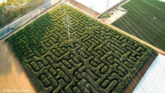 Corn Maze at Carlsbad Strawberry Company